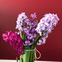 How to Force Hyacinth Bulbs in the Middle of Winter