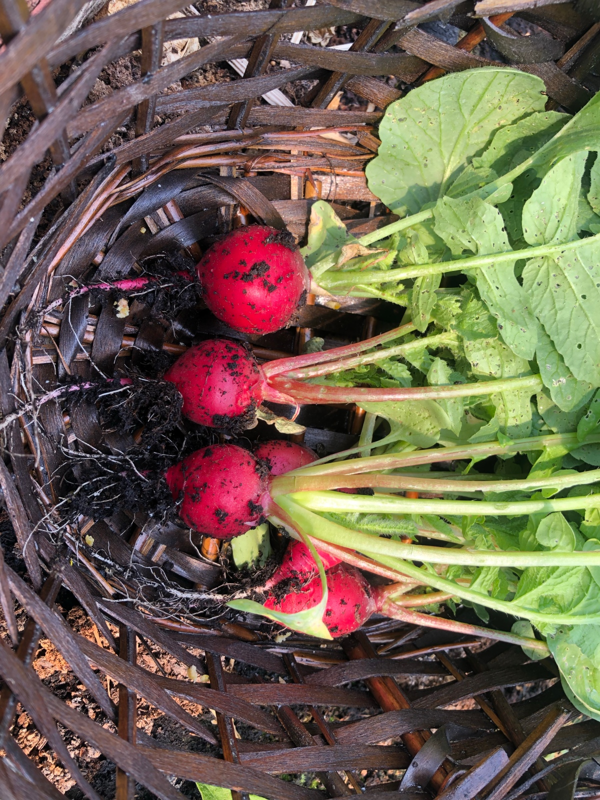 How to growradishes