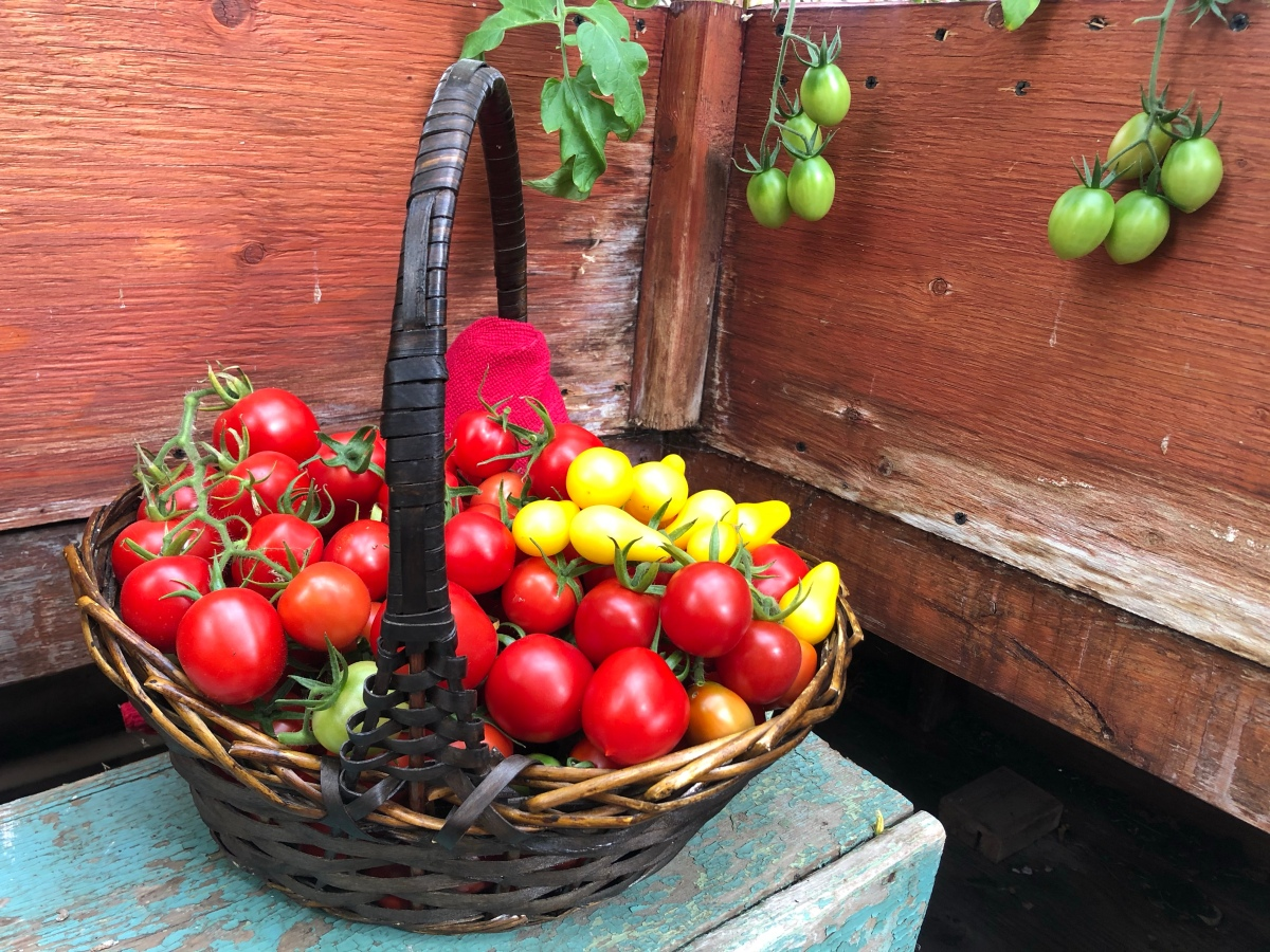 How to GrowTomatoes